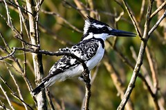 Pied Kingfisher St. Lucia SA 2016
