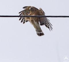 Red shouldered hawk (2)