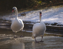 Mute swans walking on ice