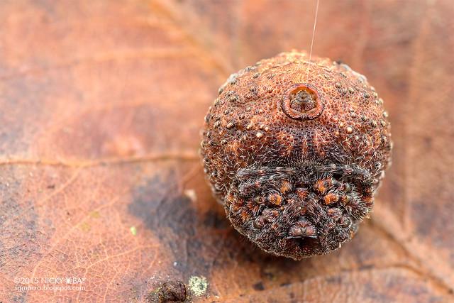 Roly poly orb weaver (Xylethrus scrupeus) - DSC_4459