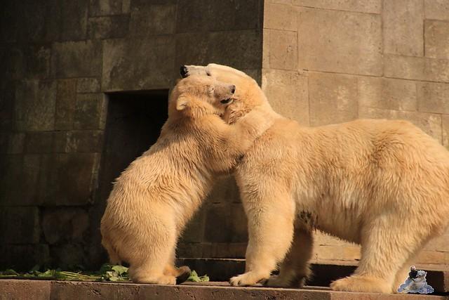 Eisbär Fiete imm Zoo Rostock 15.08.2015 Teil 2  337