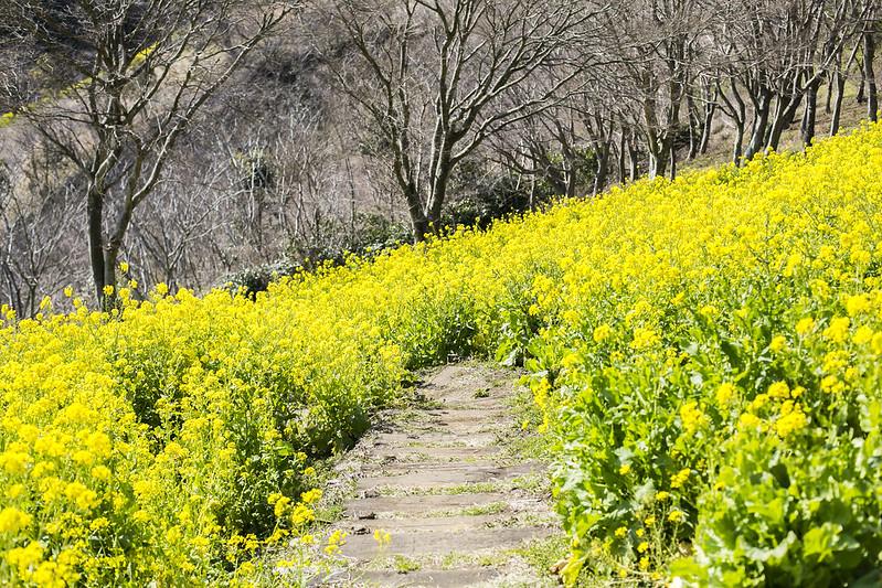 Rape flowers in Tokyo