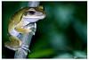 Common Indian tree frog || Polypedates leucomystax by shovonrahmaney