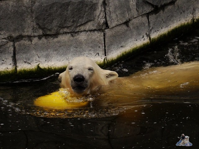 Eisbär Fiete im Zoo Rostock 19-09.2015 Teil 3  03