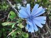 blue star petals