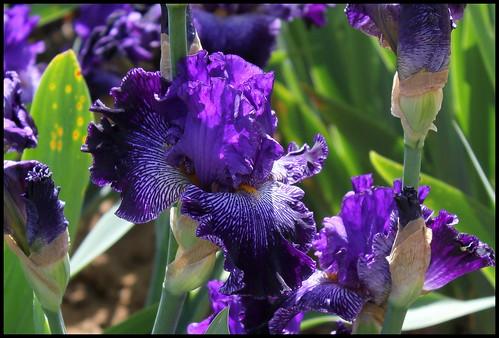Iris Clotho's Web (3)