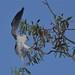Black shouldered Kite by friendsintheair