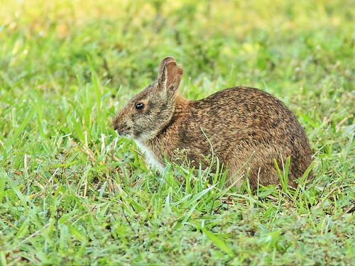 Marsh rabbit (Sylvilagus palustris) 20151212