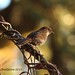 Brown-capped Laughingthrush