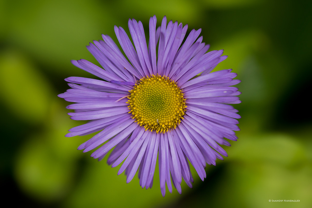 Erigeron multiradiatus