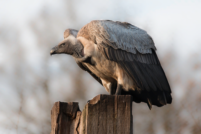 vulture looking out