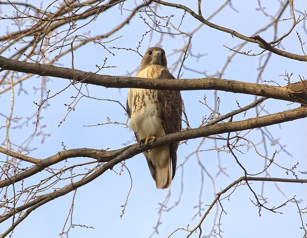 Christo the red-tailed hawk
