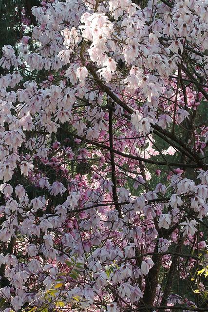 Pink Magnolia (deciduous tree)