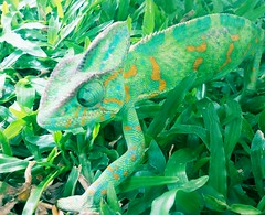 a chameleon comes to school