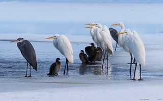 Great egrets, grey heron and pigmy cormorant | by Fraton