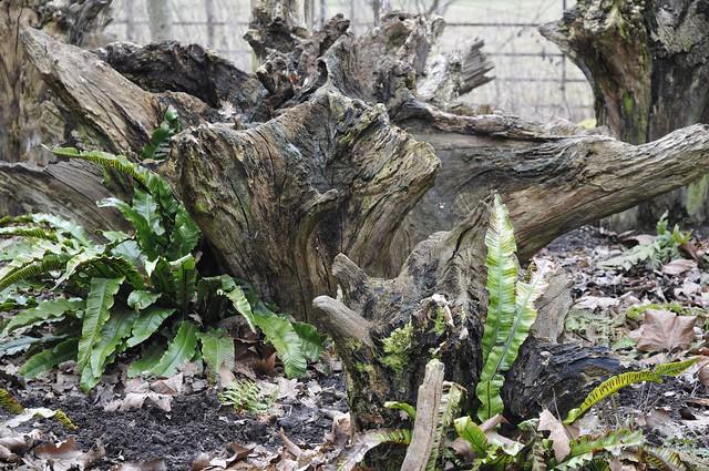 Wimpole Hall stumpery #4