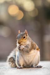 Squirrel having a quick snack