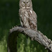Great Gray Owl by Ashleigh Scully