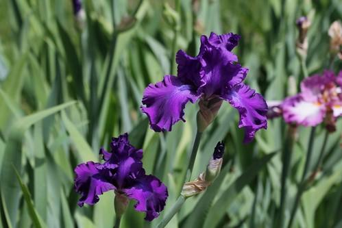 Nos Iris : floraisons 2012 - Page 2 21248278425_a4275dbed5