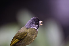 COLLARED FINCH-BILLED BULBUL