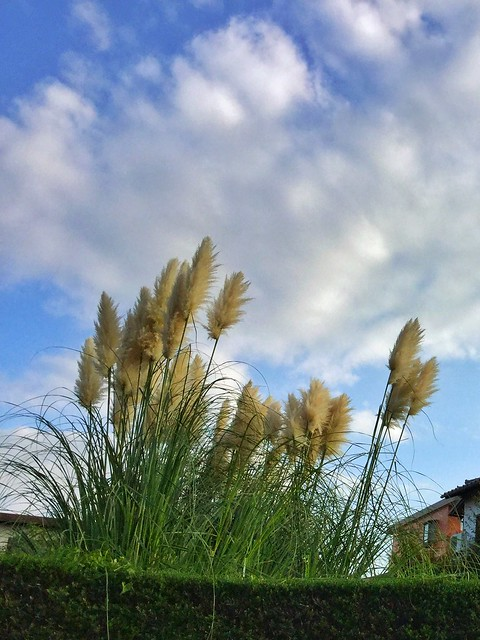 Photo:Pampas grass パンパスグラス By Cool-Rock.com