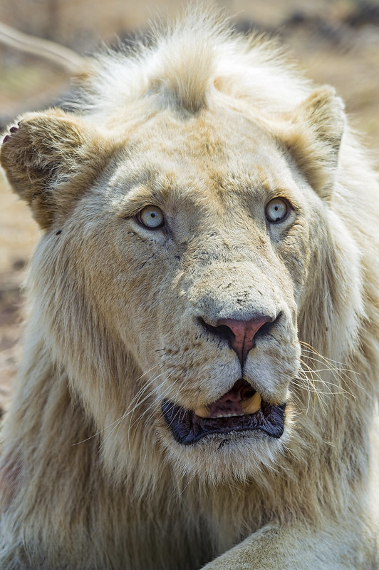 Portrait of a tensed white lion