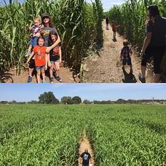 Giant Corn Maze!