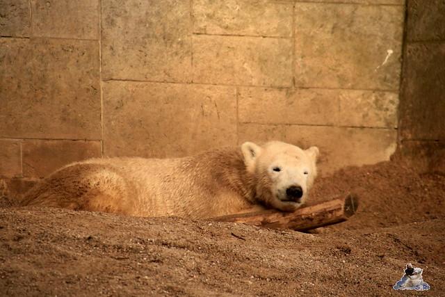 Eisbär Fiete im Zoo Rostock 13.12.2015  280