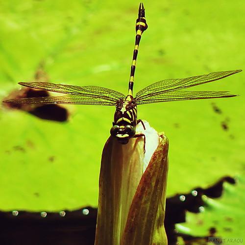 Dragonfly | Anita