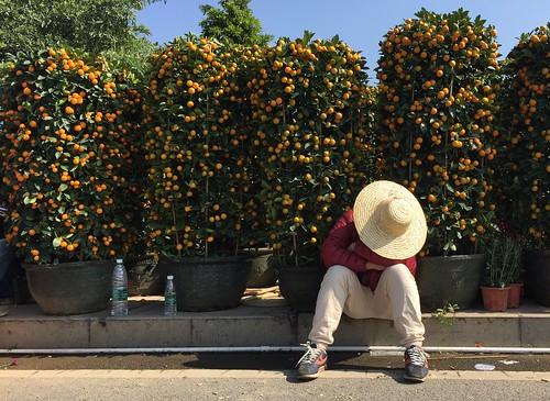 chinese new year orange tree farmer seller sleeping curb sidewalk sale
