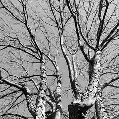 Love winter days. #lamorinda #leafless #Black and white #bayarea
