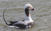 Male Longtail duck