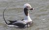 Male Longtail duck