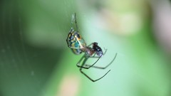 Orchard Orbweaver with prey