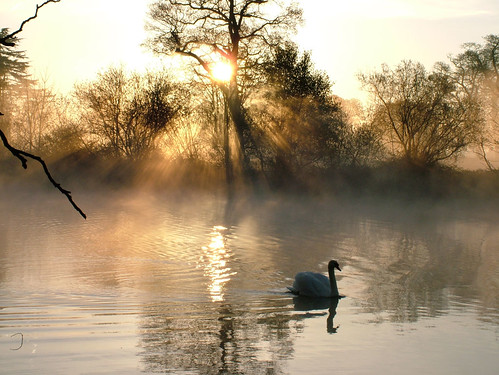 uk england mist lake reflection topf25 water topv111 fog 1025fav sunrise dawn golden swan britain buckinghamshire ripples rays slough berkshire kevday