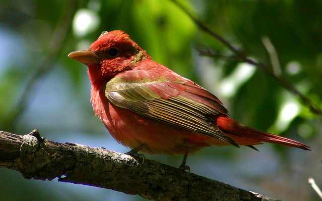 Juvenile summer tanager - photo#16