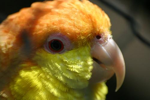 Papagaio-de-cabeça-laranja