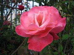 garden roses(1.0), rosa 㗠centifolia(1.0), floribunda(1.0), flower(1.0), plant(1.0), flora(1.0), rosa chinensis(1.0), pink(1.0), petal(1.0),