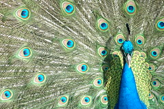 animal(1.0), peafowl(1.0), feather(1.0), wing(1.0), organism(1.0), green(1.0), fauna(1.0), close-up(1.0), beak(1.0), bird(1.0),