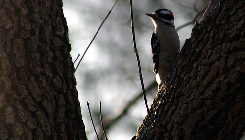 Dogwood & Downy Woodpecker