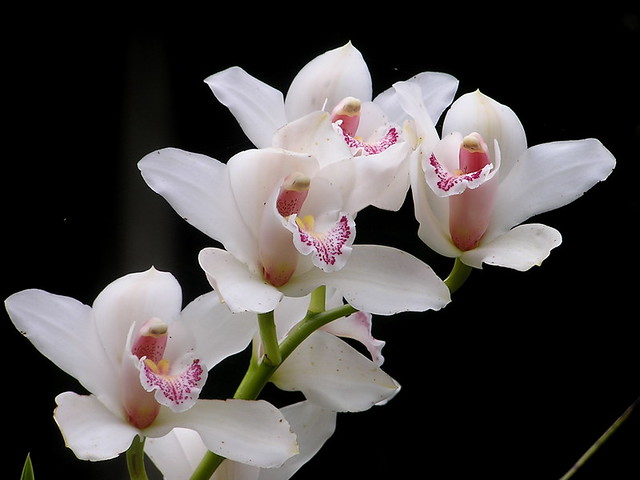 White orchids flickr photo sharing - White orchid flowers desktop wallpapers ...