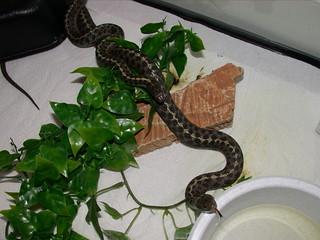 Wandering garter snakes mating (2002)
