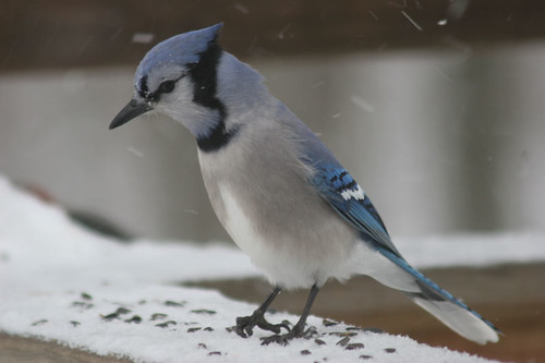 Another Blue Jay Shot (Cyanocitta cristata)