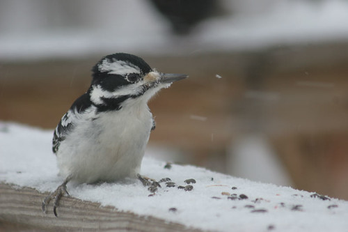 Female Hairy Woodpecker (Picoides villosus)