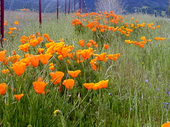 prairie, eschscholzia californica, flower, field, plain, wildflower, flora, natural environment, meadow, poppy,