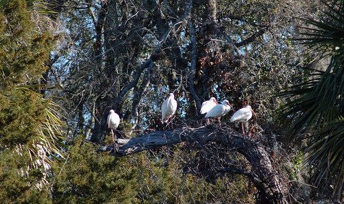 White Ibis All In a Row