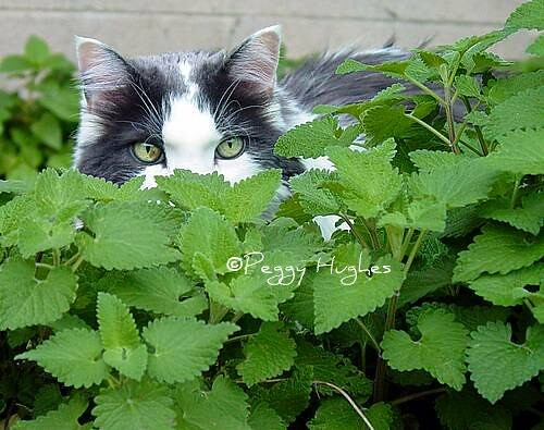 a cat in the catnip patch
