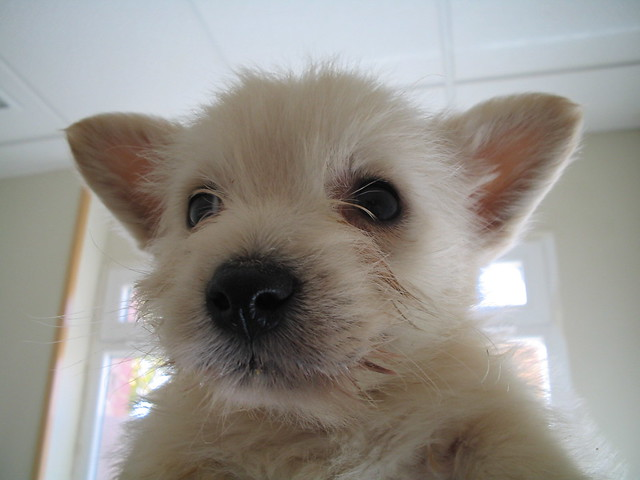 Adorable Cute Funny West Highland White Terrier Puppy