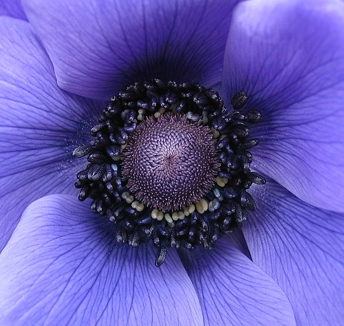 poppy anemone closeup