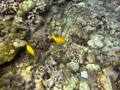 invertebrate(0.0), coral reef(1.0), coral(1.0), fish(1.0), coral reef fish(1.0), marine biology(1.0), fauna(1.0), underwater(1.0), reef(1.0), pomacentridae(1.0), wildlife(1.0),